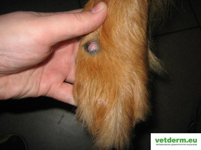 Arm hovawart lick granulomas dec 2009 (4)
