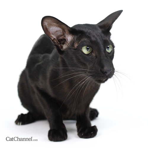 black-oriental-cat